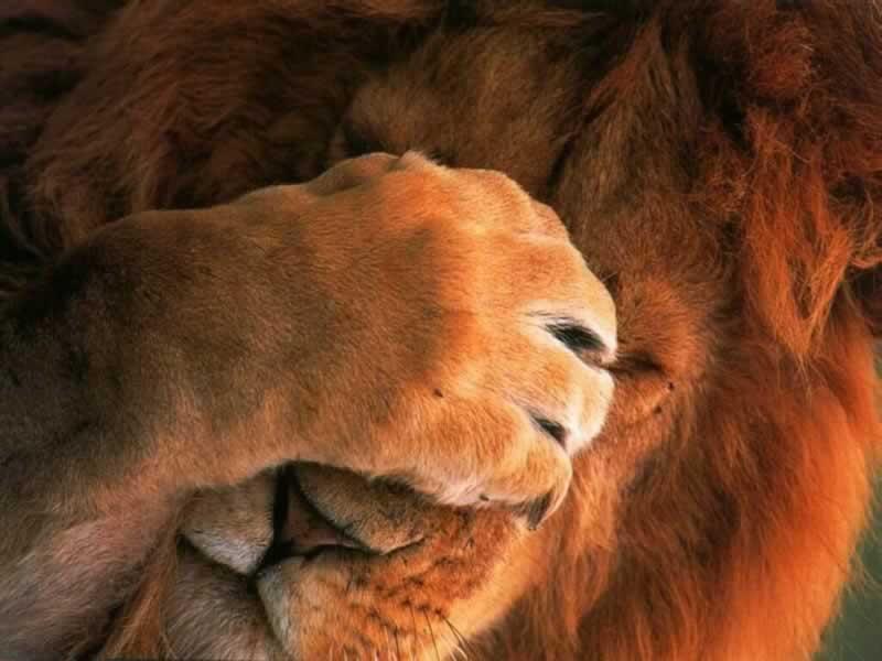 leão triste